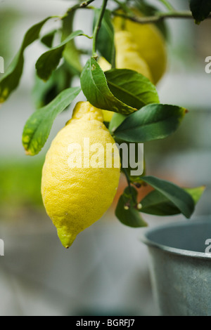 Lemon tree, close-up. - Stock Photo