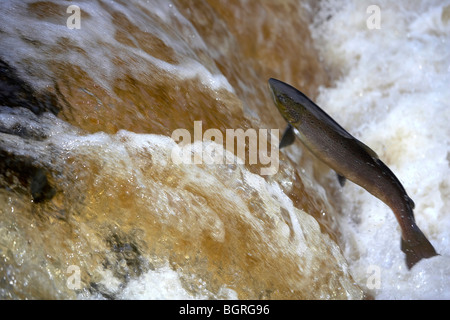 Wild Atlantic Salmon, Salmo salar leaping up a waterfall on the River Ribble, Stainforth, Yorkshire Dales, UK - Stock Photo