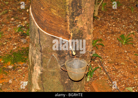 Rubber tree being tapped for latex - Stock Photo