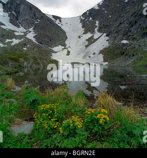 Kingcup flowers on the bank of Karakol Lake. The Altai Mountains, Russia - Stock Photo