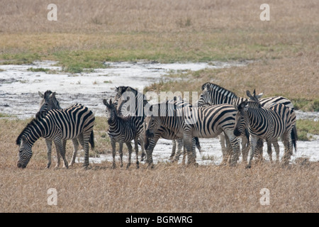 Group of Zebras drinking at the waterhole. The photo was taken in Zimbabwe's Hwange national park. - Stock Photo