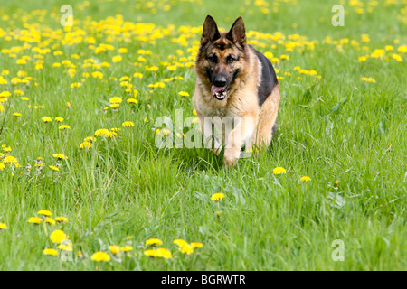 German Shepherd running in field - Stock Photo