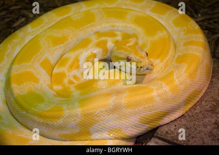 albino Burmese python at Silver Springs Florida - Stock Photo