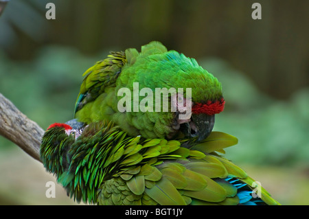two Military macaws groom each other at Silver Springs Florida Ara Militaris - Stock Photo