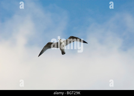 Seagull in flight against blue sky with fluffy clouds - Stock Photo
