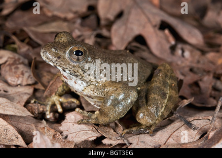 A foothill yellow-legged frog (Rana Boylii), a species threatened with extinction - Stock Photo