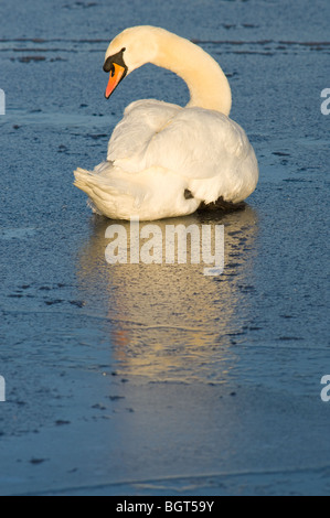 Adult mute swan preening feathers and conserving energy whilst sitting on a frozen lake. - Stock Photo