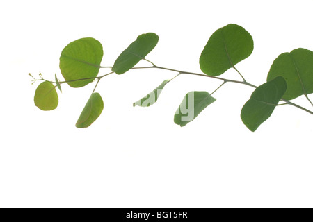 Young green eucalyptus leaves on a branch - Stock Photo