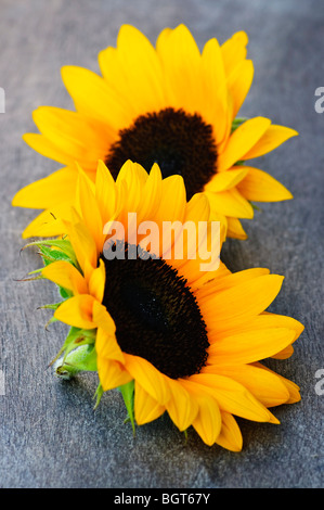 Closeup of two yellow and black sunflower heads - Stock Photo