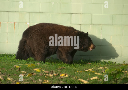 North American Black Bear Ursus Americanus in captivity Silver Springs Florida tourist tourism attraction - Stock Photo