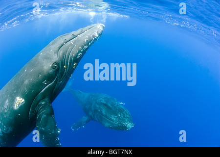 humpback whales underwater in maui hawaii swimming up to whale watching boat - Stock Photo