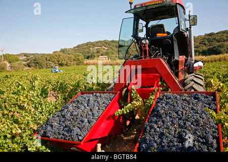 Grape harvest in vineyards around Chateauneuf du Pape, Vaucluse, Provence, France. - Stock Photo