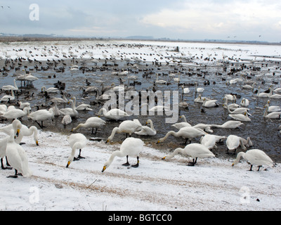 Martin Mere Wildfowl and Wetlands Trust reserve, in winterly conditions Lancashire, UK, winter 2009 - Stock Photo
