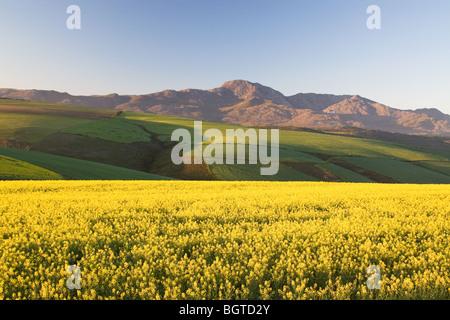 Canola field in Caledon, Western Cape , South Africa
