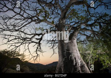 Floodlit Baobab tree next to Epupa Falls, Kunene River, Kaokoland, Namibia - Stock Photo