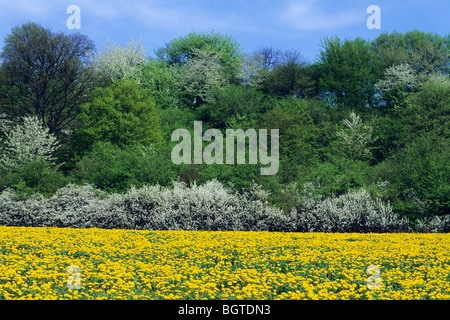 Flowering Hedge and Dandelion filled meadow in May (Taraxacum officinale) - Stock Photo