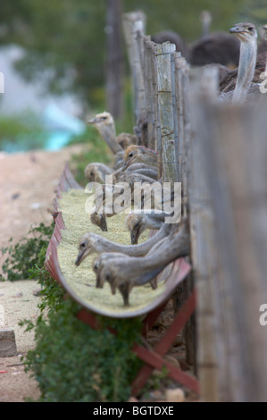 Common Ostrich (Struthio Camelus) feeding from trough, Oudtshoorn district, Western Cape , South Africa - Stock Photo