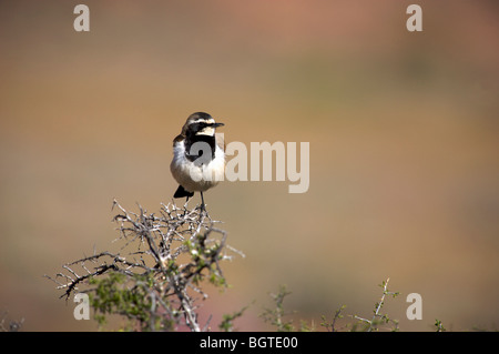 Capped Wheatear (Oenanthe pileata) sitting on a branch, Namaqualand, Northern Cape , South Africa - Stock Photo