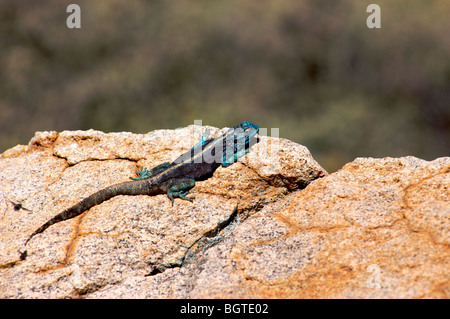 Male Southern Rock Agama (Agama atra) sunning itself on a rock, Namaqualand, Northern Cape , South Africa - Stock Photo