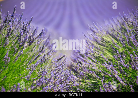 LAVENDER FIELD TO VALENSOLE, PROVENCE, FRANCE - Stock Photo