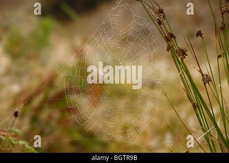 Web of female Garden or Cross Spider (Araneus diadematus). Powys, Wales, UK. - Stock Photo