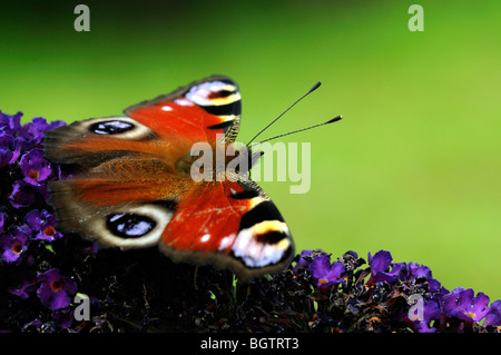Peacock Butterfly (Inachis io) feeding on buddleia flower, Oxfordshire, UK. - Stock Photo