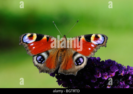 Peacock Butterfly (Inachis io) resting on buddleia flower, Oxfordshire, UK. - Stock Photo