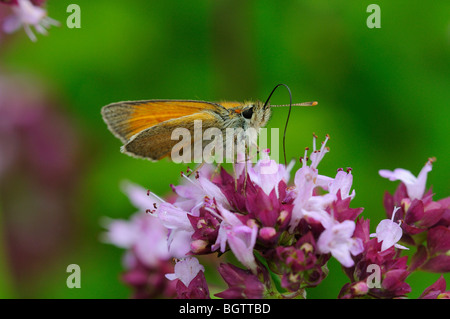 Small Skipper (Thymelicus sylvestris) butterfly feeding on wild marjoram flowers, tongue extended,Oxfordshire, UK. - Stock Photo