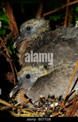 Woodpigeon (Columba palumbus) close-up of two chicks in the nest, Oxfordshire, UK. - Stock Photo