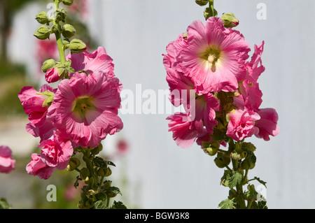 hollyhocks  (Alcea Rosea) - Stock Photo