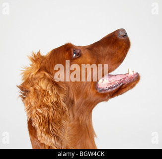 Red setter - Stock Photo