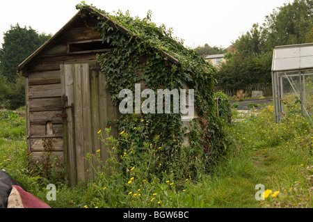 Dilapidated wooden shed half covered with climbing ivy on an allotment plot with a greenhouse/glasshouse in the - Stock Photo