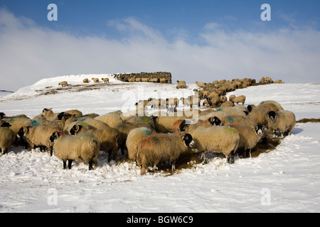 Sheep grazing on Winter Hay fodder as a result of heavy snow near Cray, Upper Wharfedale, Yorkshire Dales National - Stock Photo