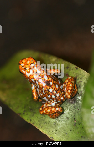 Harlequin Poison Dart Frog Dendrobates histrionicus Colour Morph - Stock Photo