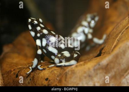 Marañón Poison Dart Frog Dendrobates mysteriosus Colour Morph - Stock Photo