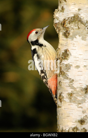 Middle Spotted Woodpecker (Picoides medius) - Stock Photo