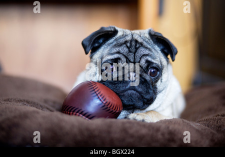 A pug puppy rests on a big pillow with a play baseball. - Stock Photo