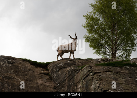A Turkmenian Markhor standing proudly atop a rocky cliff with a tree in the background - Stock Photo