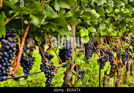 Close up of grapes at Hofkellerei Winery with grapes in small remote country of liechtenstein - Stock Photo