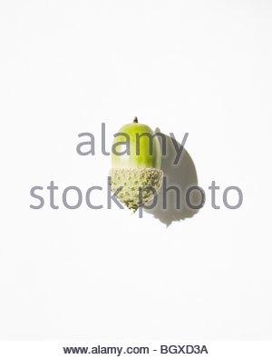Single Acorn against white - Stock Photo