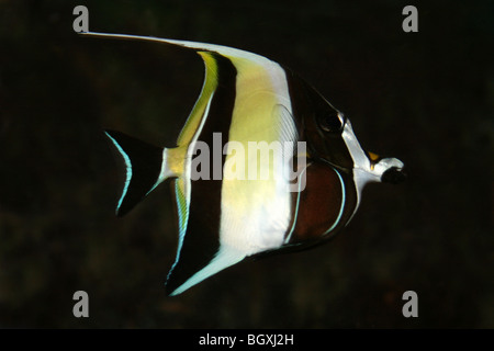 Moorish Idol Zanclus cornutus - Stock Photo