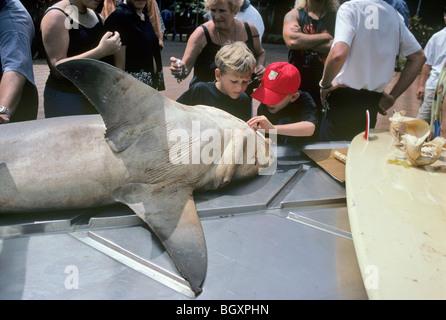 Close-up of Child examining Zambezi (Bull) Shark (Carcharhinus leucas) at dissection station. - Stock Photo