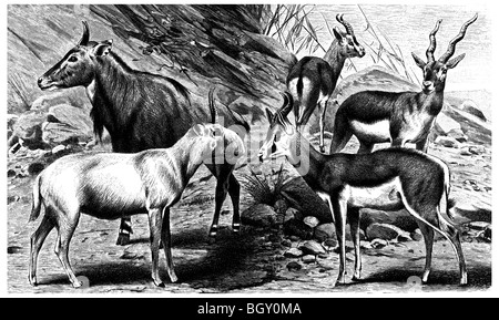 Antelopes A - Stock Photo