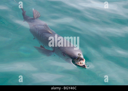 A large barracuda shows its teeth while it snaps at something at the surface in the Caribbean. This one was about - Stock Photo