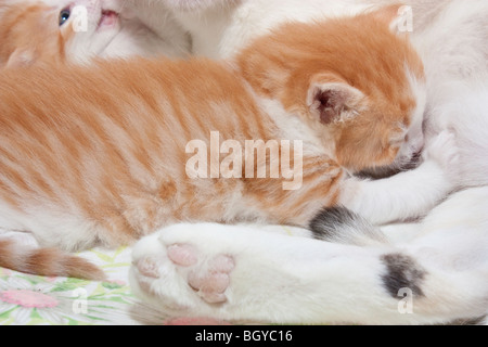 Kittens nursing in their birthing box - Stock Photo