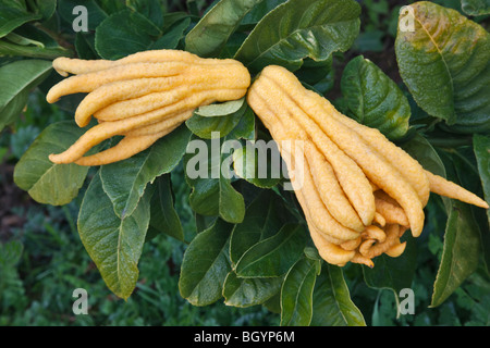 Buddha's Hand, mature fruit on branch. - Stock Photo
