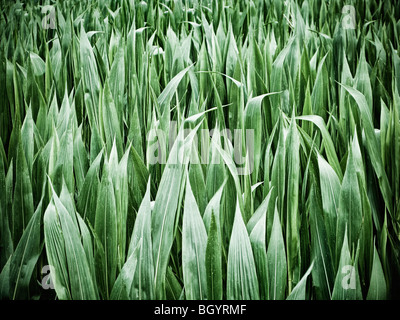 Maize crop leaves close up - Stock Photo