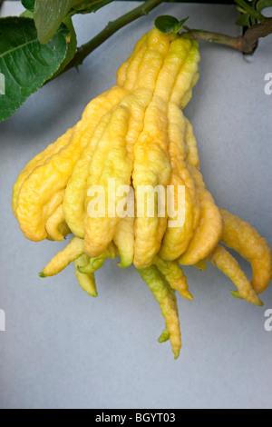 Buddha's Hand, mature fruit. - Stock Photo