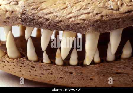 Alligator skull teeth - Stock Photo