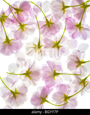 Completely translucent cherry blossom, blossoms, flowers petals. Pattern isolated on a white background. Close up. - Stock Photo
